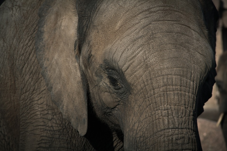 #GiantRefugees: Elephants Driven From Habitats in Eastern India