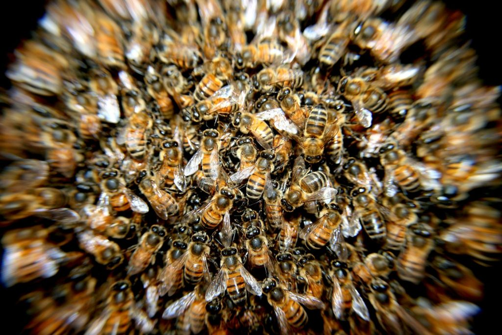 As Bee Populations Dwindle, Researchers Introduce Stingless Bees From India As Alternative Pollinators