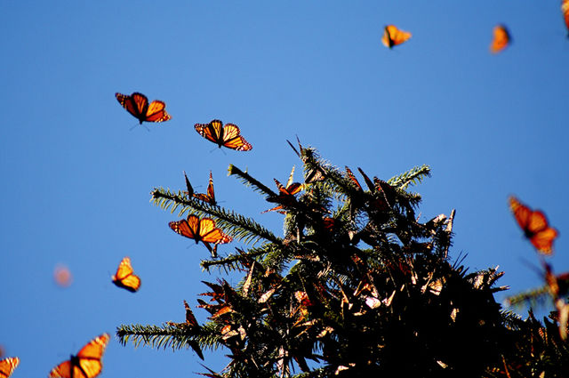 Monarchs' Demise: US Scientists Discover New Victim of Hurricanes